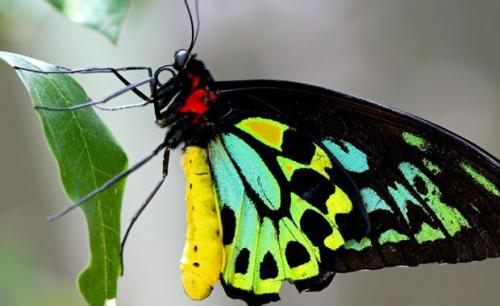 cairns-birdwing-butterfly-animal-profile-web620